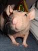 Rapps - HamsterStory rodent breeder