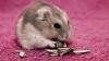 CarlaSt - HamsterStory rodent breeder
