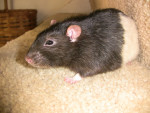 Beetle - Male Brown Rat (Other)