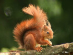 Noisette - Squirrel