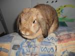 Liebe Häsin Schlappi - European Rabbit (1 year)