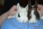 Milkshake and Mulan - European Rabbit