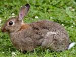 Ester - European Rabbit (1 year)