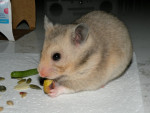 Gary - Golden Hamster (11 months)