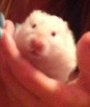 Norma - Golden Hamster (10 months)