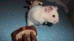 Yukio - Male Golden Hamster (6 months)