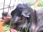 Kiki - Male Peruvian Guinea Pig (4 years)