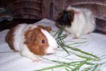 Pitchou,Cachou - Male Peruvian Guinea Pig (10 months)