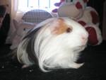 Oriol - Male Peruvian Guinea Pig (3 years)