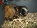 Lassie - Peruvian Guinea Pig (1 year)