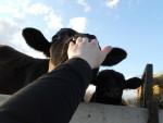black cows - Male Cow (9 months)