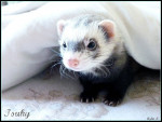 Tsuky - Ferret (4 years)