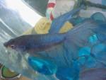 Aqua Moon - Male Fish (Other)