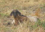 Gorgeous Kids - Goat (2 months)