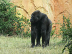 gorille - Monkey