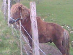 Harald - Male Pony (4 years)