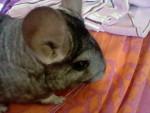 Chichi - Male (1 year)