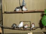 Famille oiseau - Male (2 years)