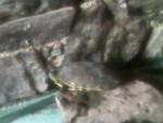 ROCA - Male Turtle (1 year)